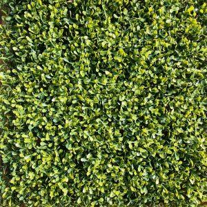 yellow boxwood hedge panel